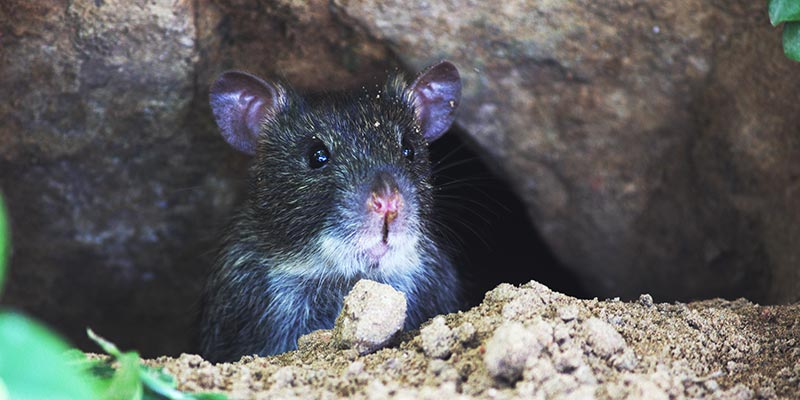 a black rat in the sewer system